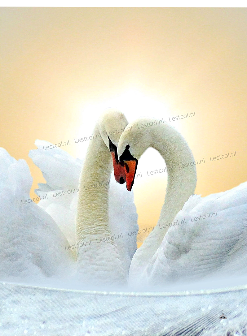 Fine-art Swans in love
